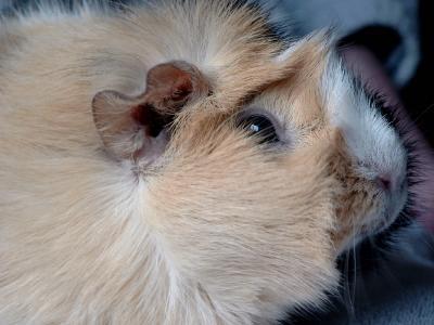 Portrait Meerschweinchen Flecki