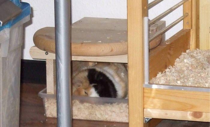 Meerschweinchen Flecki schläft im Klohaus