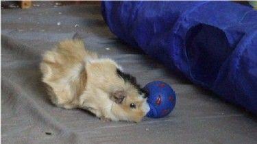 Meerschweinchen Flecki mit dem Snackball