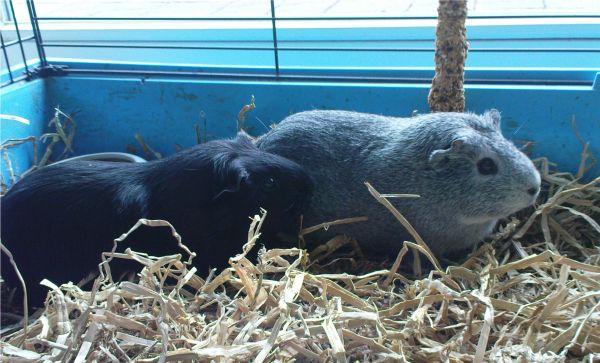 Meerschweinchen Frieda und Ninja im 120er Käfig