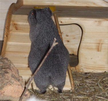 Meerschweinchen Frieda will aufs Haus