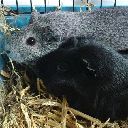 Meerschweinchen Frieda mit Schwester Ninja