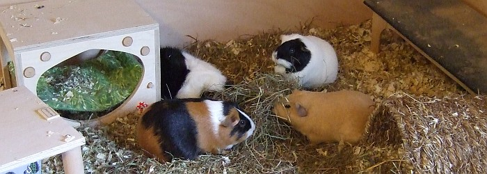 Schweinchen fressen gemeinsam