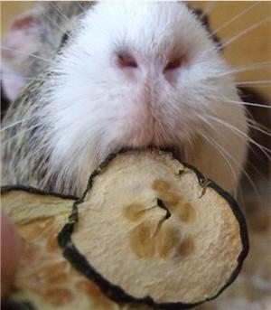 Getrocknete Gurkenscheiben vom HiO werden von Meerschweinchen Conny aufgemampft