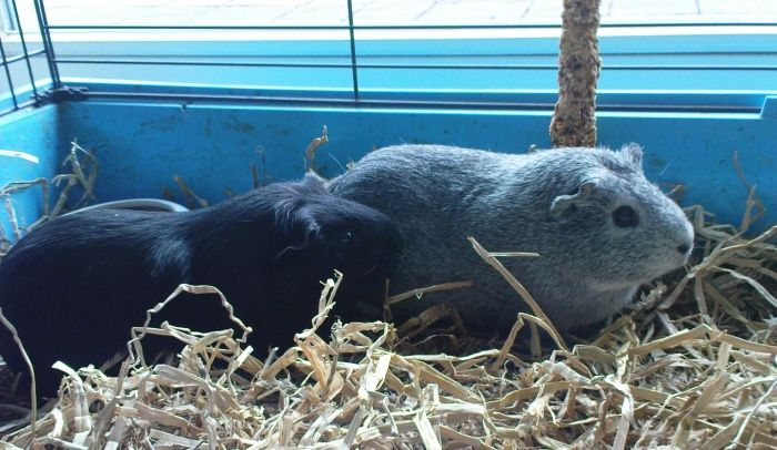 Meerschweinchen Frieda und Ninja im Gitterkäfig