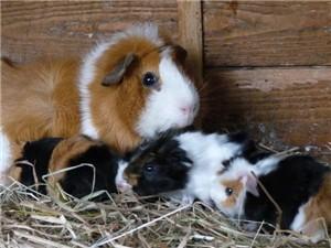 Meerschweinchen Flummi mit Geschwistern und Mutter Lotte