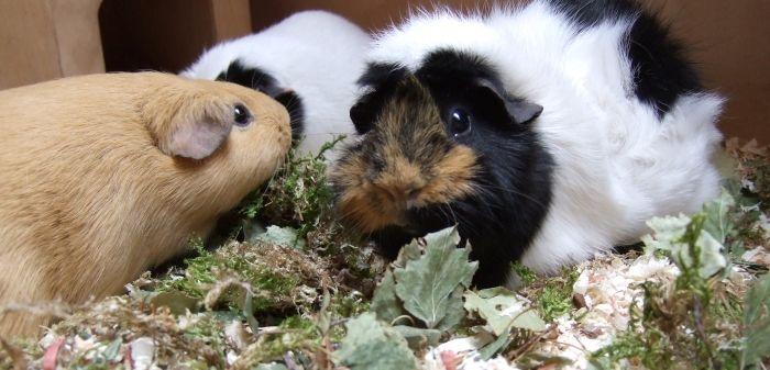 Heidepark Überstreu für Merrschweinchen