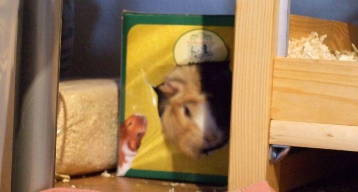 Meerschweinchen Flecki im Karton vom Heuhaus