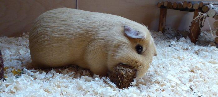 Meerschweinchen Ilani testet einen Hotzenklotz