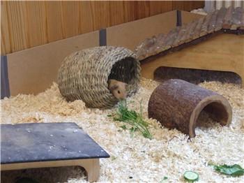 Meerschweinchen Ilani sitzt im Heuufo