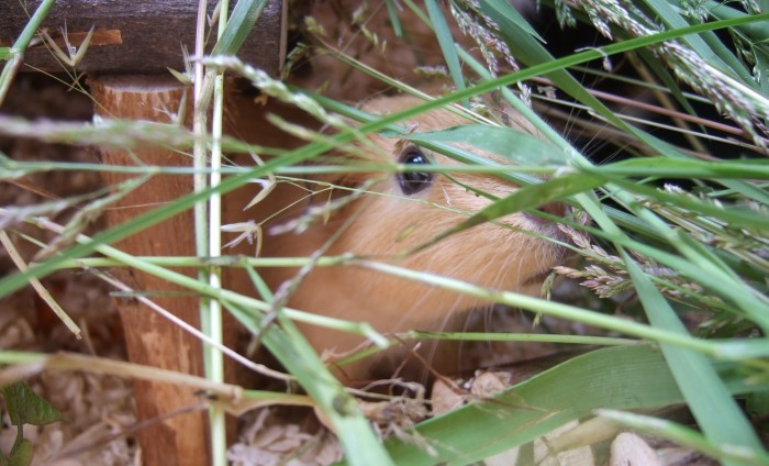 Meerschweinchen Ilani versteckt sich im Gras
