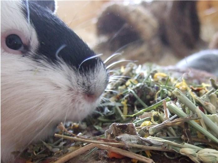 JR Farm Wiesenkraäter wird von Meerschweinchen Fips getestet