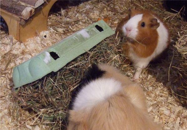 Meerschweinchen Flecki und Andi knacken den Überraschungs-Eierkarton