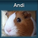 Meerschweinchen Andi