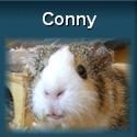 Meerschweinchen Conny