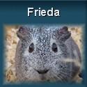 Meerschweinchen Frieda