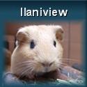 Meerschweinchen Ilani im Interview