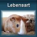 Vergesellschaftung, Verhalten, Platzbedarf und Kosten von Meerschweinchen