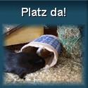 Platzbedürfnis von Meerschweinchen