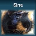 Meerschweinchen Sina