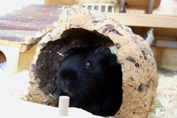 Meerschweinchen Flecki macht ein Päuschen in der Korkröhre