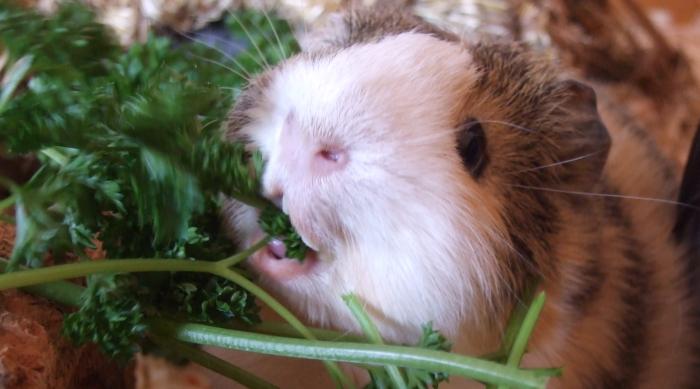 Meerschweinchen Conny mampft krause Petersilie