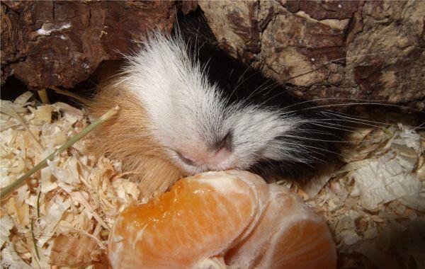 Meerschweinchen mit Mandarine