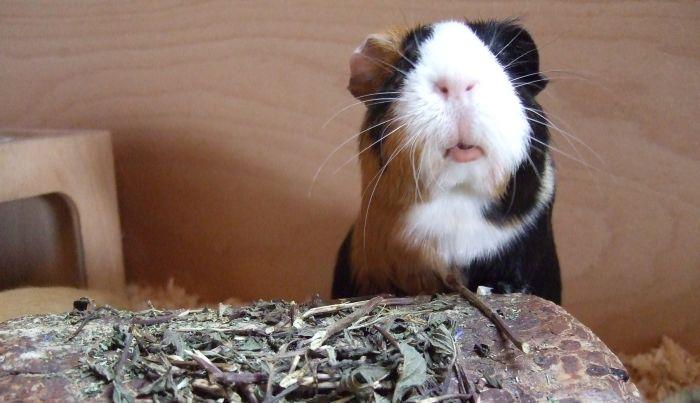 Meerschweinchendame Muffin testet Pfefferminze