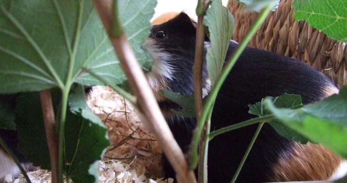 Meerschweinchen Muffin mampft Blätter