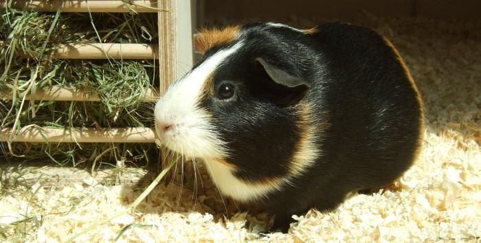 Meerschweinchen Muffin sitzt in der Sonne
