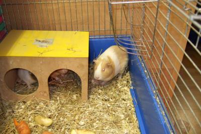 Meerschweinchen Conny mit Mutter und Bruder
