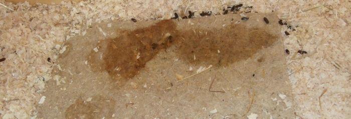 schmutziger Nagerteppich