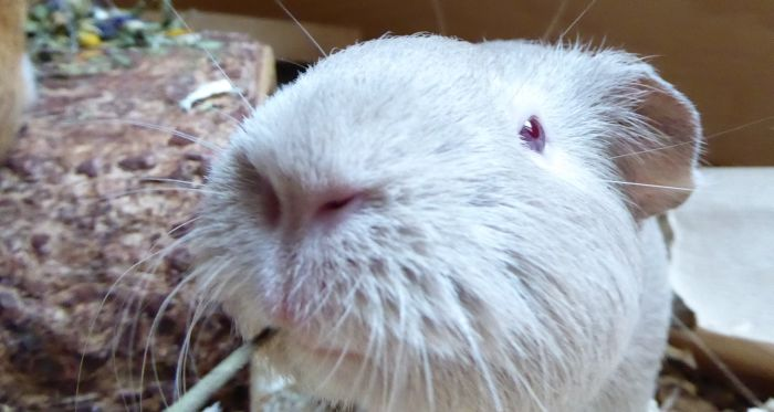 Meerschweinchen Aurin hat einen Namen