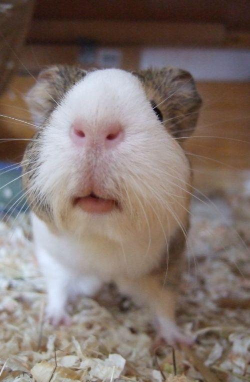 saubere Meerschweinchen-Nase