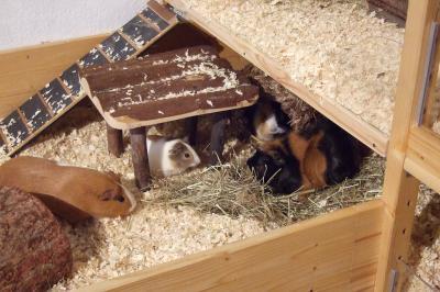 Meerschweinchen Conny mit ihrer neuen Familie
