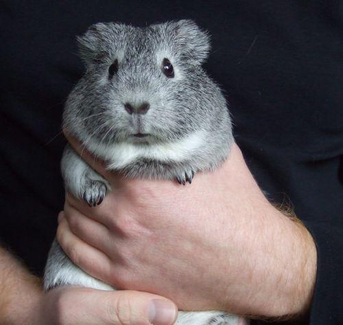 Meerschweinchen Frieda auf Pullover