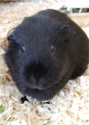 Meerschweinchen Ninja hat schwarze Krallen