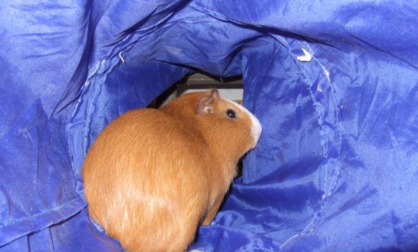 Meerschweinchen Andi im Rascheltunnel