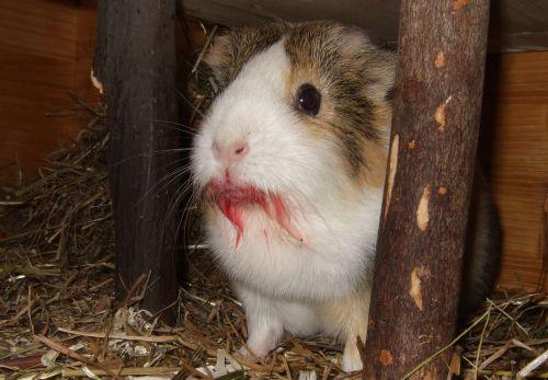 Meerschweinchen Conny schmiert sich voll