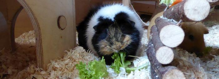 Meerschweinchen isst Salat