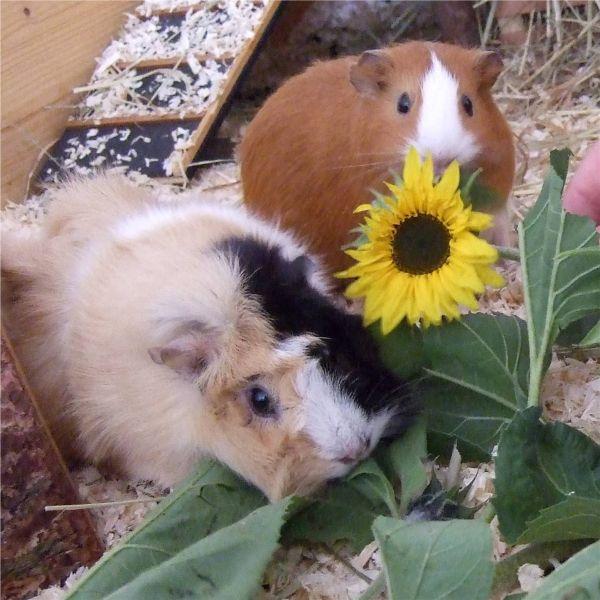 Meerschweinchen Sonnenblume