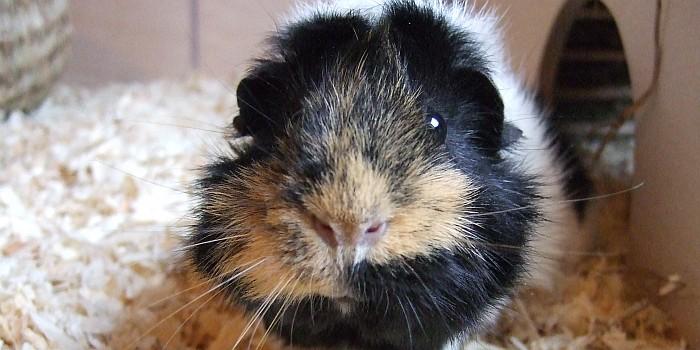 strubbelige Schweinedame