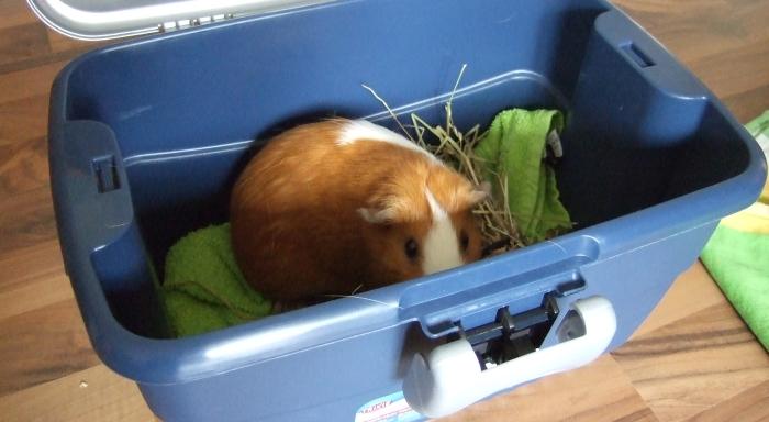 Meerschweinchen Andi in der Transportbox Mini-Capri