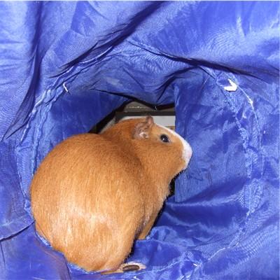 Meerschweinchen im Stoff-Tunnel