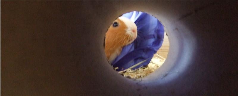 Meerschweinchen im Tunnel