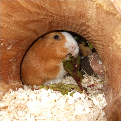 Meerschweinchen im Holz-Tunnel