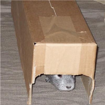Meerschweinchen im Papp-Tunnel