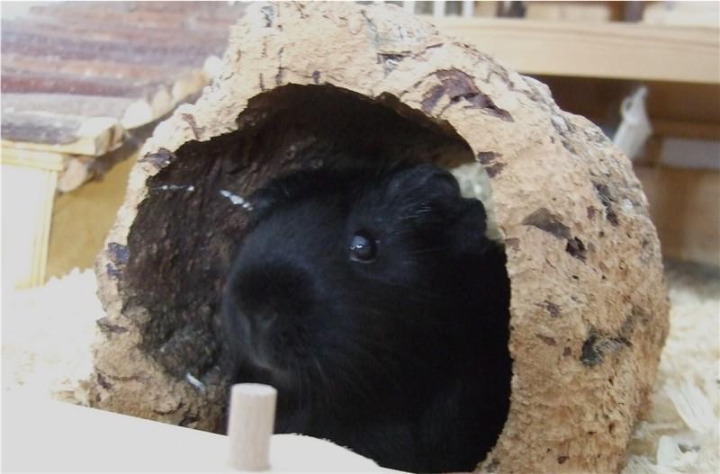 Meerschweinchen im Kork-Tunnel