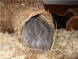 Meerschweinchen Frieda hat den Tunnelblick