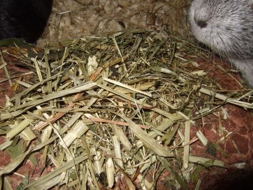 Meerschweinchen Frieda schn&üuml;ffelt an Twizzy Farm